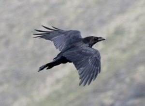 Raven in flight small