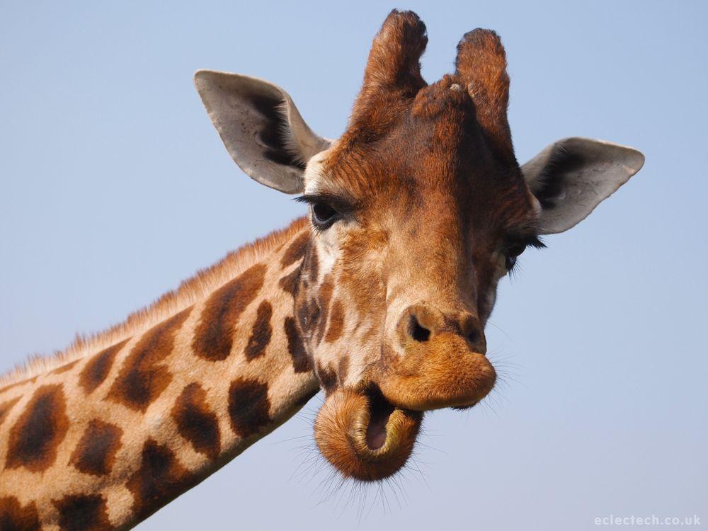 Not the giraffe that went up Snowdon